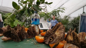 The butterflies get 'drunk' on rotting fruit